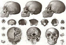 Bones of the Head - Skull - Medical - Anatomy A3 Art Poster Print