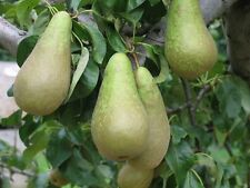 Pear Tree 'Concorde' Variety on Quince A Rootstock