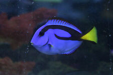 """Live Colorful Saltwater Fish - 2"""" Blue Hippo Tang (Finding Dory) - Marine Reef"""