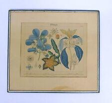 Kolorierter Stich 19 Jh. Enkianthus Stapelia