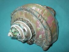 schöne Turbo marmoratus- Green turban Seashell, 163mm lang-perlmutt