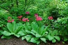Primula japonica mix colours x 20 Fresh Seed