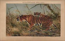 Chromo-Lithografie 1902: KÖNIGSTIGER (Felis tigris). Tiger Katze