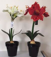 artificial potted amaryllis 1 red and 1 cream in black pot with 5 heads on each.