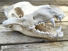 Antique Finish Dire Wolf Skull 0213 New By Skullduggery