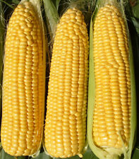 Sweet Yellow Corn 100  Organic Heirloom Vegetable Seed  Free Delivery