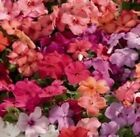 Impatiens/Busy Lizzy - Tempo Mixed F1 - 25 Seeds