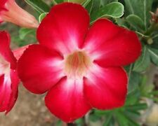 5 seeds Adenium,Red, Jackpot, Arabicum, Desert Rose