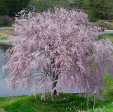 Purpleleaf Sand Cherry Plum Prunus Heavy Etablished 1 Gallon Trade Pot 1 Plant