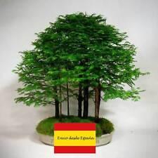 20 Semillas metasequoia  glyptostroboides dawn redwood metasecuoya alba seeds