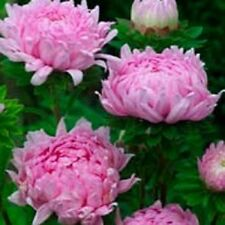 Aster Tall Paeony Duchess Coral Rose 50 Seeds     Garden Seeds 2u