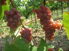 Vitis labrusca CATAWBA GRAPE Seeds!