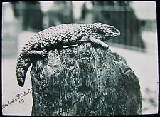 Glass Magic Lantern Slide A STUMP TAILED LIZARD C1900 PHOTO REPTILE