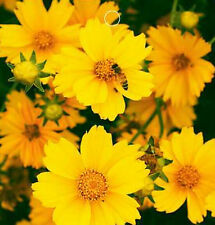 FD1539 1 Pack 50 Seeds Yellow Coreopsis Seed Big Flower Coreopsis Garden Flower