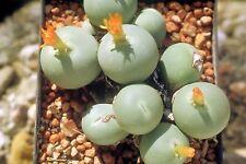 5 graines de PLANTE BOUTON(CONOPHYTUM CALCULUS) Z627 BUTTON PLANT SEEDS SAMEN