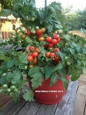 25 TINY TIM Tomato Seeds. Container Growing. Patio. Heirloom USA Seeds.