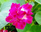 8 graines IPOMEE DOUBLE(Ipomoea Purpurea SUNRISE SERENADE )H209 SEEDS SAMEN SEMI