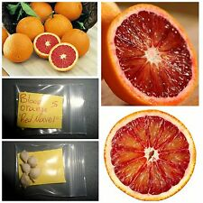 Blood Orange ''Red Navel'' Orange ~5 Top Quality Seeds - Rare - Tropical Exotic