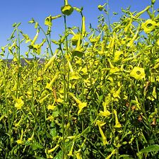 Huichol Tobacco (Nicotiana langsdorffi) Seeds (~350): Certified Organic, Non-GMO