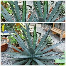 10 seeds of Agave xylonacantha 'blue', succulents, cacti, succulents seed R