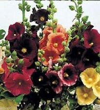 25 Happy Lights Hollyhock Mix Seeds,White,Yellow,Red,purple,&Pink! Single-flower