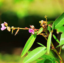 Dance Weed Seed 20 Seed Desmodium Gyrans Codariocalyx Motorius Foliage Seed F003
