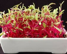 ORGANIC BIO Sprouting seeds - BEETROOT - BEET - 20 GRAMS sprouts