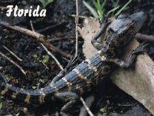 Postcard Baby Alligator in Florida FL