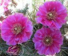 Winter Hardy Prickly Pear Opuntia Cactus Ruffled Pinkish Purple Blossoms!!!
