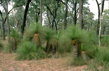 Northern or Queensland Grass Tree (Xanthorrhoea johnsonii)  - 30 Seeds