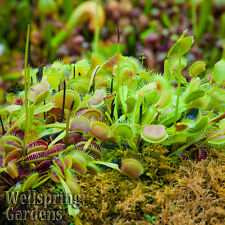CARNIVOROUS Venus Fly Trap - Live Plant Bug eating plant