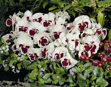 WINTER PANSY (Viola Wittrockiana White-Pink Eye) 200 seeds (#1409)