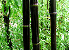 35 Black Bamboo Seeds Phyllostachys Nigra 2015 seeds USA SELLER FAST SHIPPING