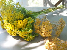 2 ROOT DIVISIONS TANSY (A MEMBER OF THE ASTER FAMILY) VERY HARDY.