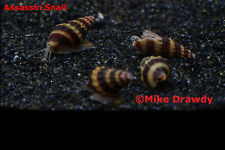 12 Assassin Snails -Live Tropical Fish Snail Ramshorn Malaysian Trumpet