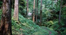 redwood, DAWN TREE RED WOOD, 10 SEEDS! GroCo*