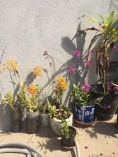 lovely  yellow epidendrum orchids  various size & $$$ cheapest prices  on ebay