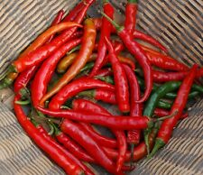 HOT CHILLI PEPPER - RING OF FIRE  - 60 SEEDS - ORGANIC
