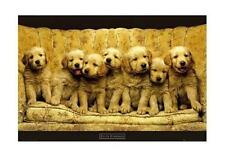 Chien/dog poster Keith Kimberlin Golden retriever #2