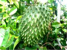 Soursop Guanabana Paw Paw, Tropical fruit tree 25 seeds July 2016