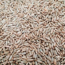 10 Pounds Organic Winter Rye Seed Berries for Mushroom Spawn or Garden Cover