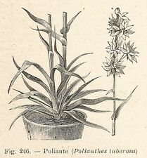 B1203 Polianthes tuberosa - Incisione antica del 1929 - Engraving