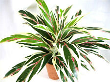Potted Artificial Silk Dracaena Bush Plant ~ foliage