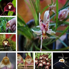 10X Rare Monkey Face Orchid Seed Dracula Simia Flower Garden Cute Plant Seed
