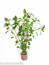 Ludwigia Repens - Live Aquarium Plants Background for Fish Tank BUY2GET1FREE*