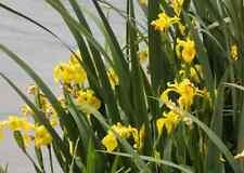 10 Petits plants IRIS DES MARAIS 20 CM  JAUNE  BASSIN FILTRATION
