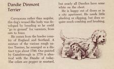 Dandie Dinmont - Vintage Dog Art Print - 1954 M. Dennis