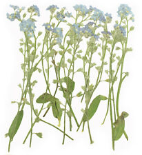 pressed flowers, forget me not 20pcs for art craft card making scrapbooking