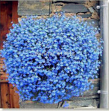 200 seeds of Blue Flax basket grow flowers Linum perenne