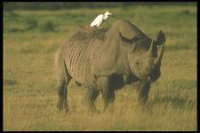 253044 NERO rhinocerous e Egret A4 FOTO STAMPA